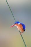 Martin-pêcheur de malachite Photo libre de droits