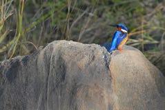 Martin-pêcheur de malachite Photographie stock