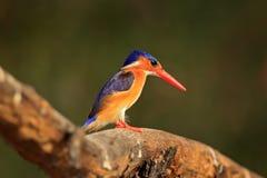 Martin-pêcheur de malachite, détail d'oiseau africain exotique, Afrique photo stock