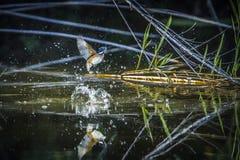 Martin-pêcheur de malachite en parc national de Kruger, Afrique du Sud image libre de droits