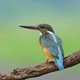 Martin-pêcheur de terrain communal de femelle Photographie stock libre de droits