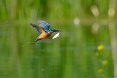 Martin-pêcheur en vol (atthis d'alcedo) images stock