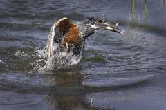 Martin-pêcheur géant Images stock