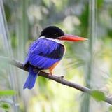 martin-pêcheur Noir-couvert Image stock