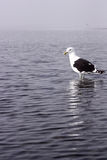 martin-pêcheur Noir-recouvert Photographie stock libre de droits