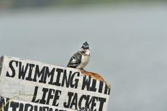 Martin-pêcheur pie Photos libres de droits
