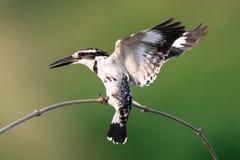 Martin-pêcheur pie d'oiseau Photographie stock