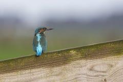 Martin-pêcheur sur une barrière en bois Image libre de droits