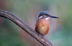 Martin-pêcheur sur une branche Photographie stock