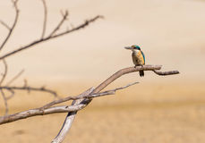 Martin-pêcheur sur une branche Photo libre de droits