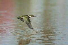Martin-pêcheur vert en vol Images stock