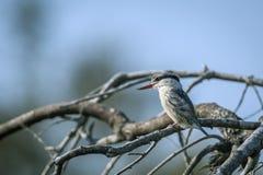 Martin-p?cheur barr? en parc national de Kruger, Afrique du Sud photographie stock