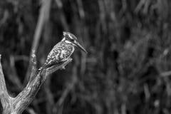 Martin-p?cheur pie en parc national de Kruger, Afrique du Sud images stock