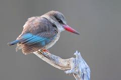 Martin-pêcheur de Brownhooded Photo libre de droits