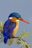 Martin-pêcheur de malachite Image stock