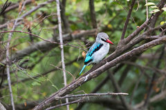 Martin-pêcheur de région boisée Photo stock
