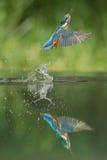 Martin pescatore Fotografie Stock