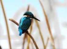 Martin pescatore fotografie stock libere da diritti
