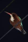 Martin pescatore appollaiato su cavo alla notte Fotografie Stock Libere da Diritti
