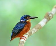 martin pescatore Blu-eared & x28; Meninting& x29 del Alcedo; una poca Bi blu paffuta Immagine Stock Libera da Diritti