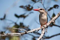 Martin pescatore Brown-Incappucciato (albiventris Halcyon) Fotografia Stock Libera da Diritti