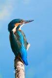 Martin pescatore comune Immagine Stock Libera da Diritti