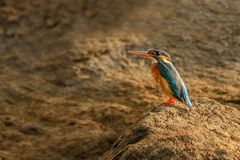 Martin pescatore comune, atthis del Alcedo dalla Sri Lanka Immagini Stock