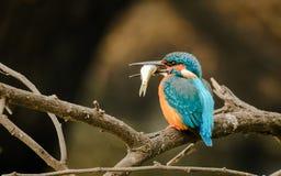 Martin pescatore con il fiume dei pesci fotografia stock