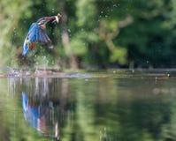 Martin pescatore con la cattura Fotografie Stock Libere da Diritti