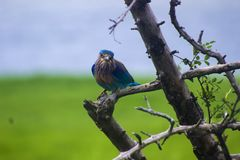 Martin pescatore dalla gola bianca - Sri Lanka fotografia stock libera da diritti