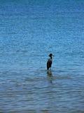 Martin pescatore del pellicano nel Panama Fotografia Stock Libera da Diritti