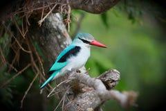 Martin pescatore del terreno boscoso fotografia stock libera da diritti