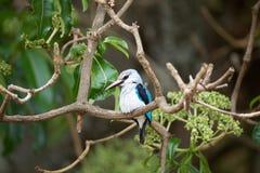 Martin pescatore del terreno boscoso (senegalensis di alcione) Fotografia Stock