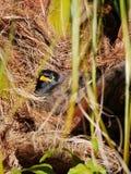 Martin triste ptak w gniazdeczku - Acridotheres tristis Zdjęcia Stock