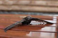 Martin zit op een bank met de geopende vleugels stock foto's