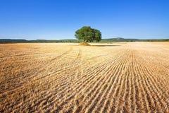 Martina Franca, Apulien - ein einzelner alter Baum, der auf einem Feld bleibt stockfotos