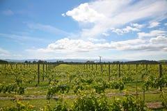 Martinboroughwijngaard in de zomer Stock Afbeelding