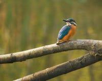 Martinho pescatore foto de stock