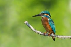 Martinho pescatore imagem de stock royalty free