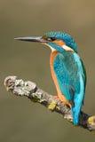Martinho pescatore Fotografia de Stock Royalty Free
