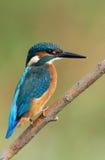 Martinho pescatore Imagem de Stock