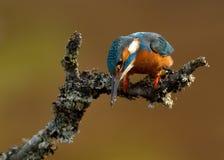 Martinho pescatore (atthis do Alcedo) Imagens de Stock Royalty Free
