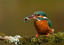 Martinho pescatore (atthis do Alcedo) Fotografia de Stock