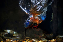 martinho pescatore Azul-orelhudo - homem Fotos de Stock Royalty Free