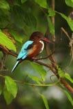 martinho pescatore Branco-throated, smyrnensis feliz, músculos exóticos e pássaro azul sentando-se no ramo, habita da natureza, T Imagem de Stock