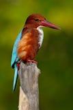 martinho pescatore Branco-throated, smyrnensis feliz, músculos exóticos e pássaro azul sentando-se no ramo, Sri Lanka, Ásia Foto de Stock