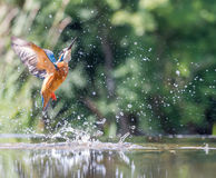 Martinho pescatore com prendedor Fotografia de Stock