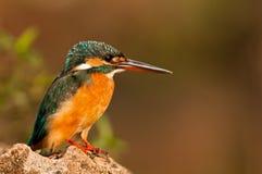 Martinho pescatore comum Imagem de Stock