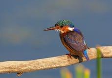 Martinho pescatore da malaquite (cristata do Alcedo) Imagem de Stock