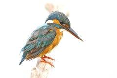 Martinho pescatore da terra comum da fêmea Fotografia de Stock Royalty Free